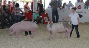 Showing pigs at the Champaign County (Ohio) Fair